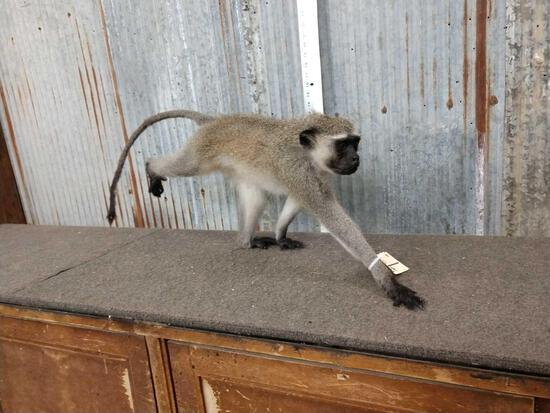 Vervet Monkey Full Body Taxidermy Mount