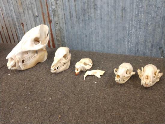 5 Skulls Taxidermy