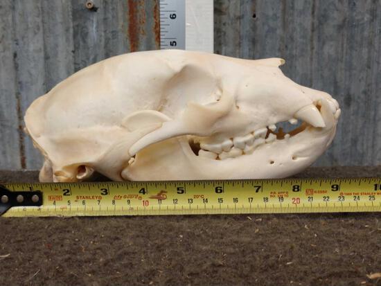 Black Bear Skull Taxidermy