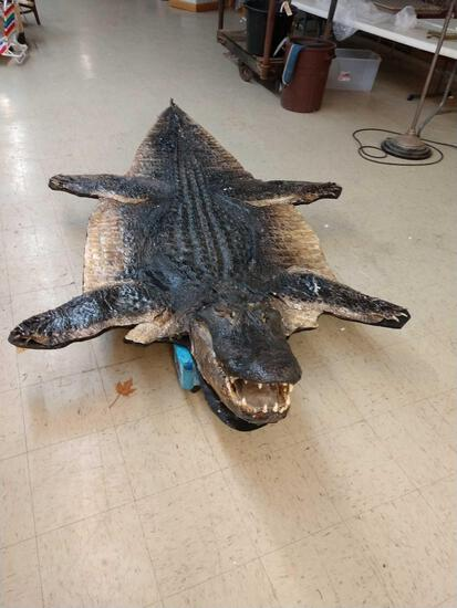 Big Alligator Taxidermy Mount
