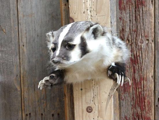 Badger Half Body Taxidermy Mount