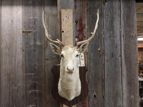 Fallow Deer Shoulder Mount Taxidermy