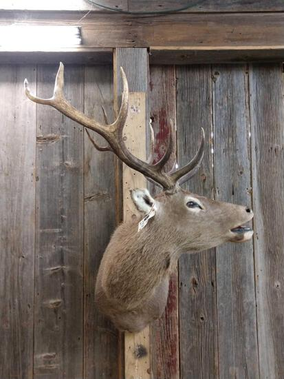 Red Stag Shoulder Mount Taxidermy