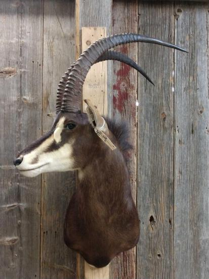 African Sable Shoulder Mount Taxidermy