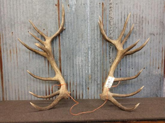 Big Set Of Red Stag Shed Antlers