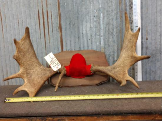 Nice Set Of Smaller Moose Antlers On Plaque