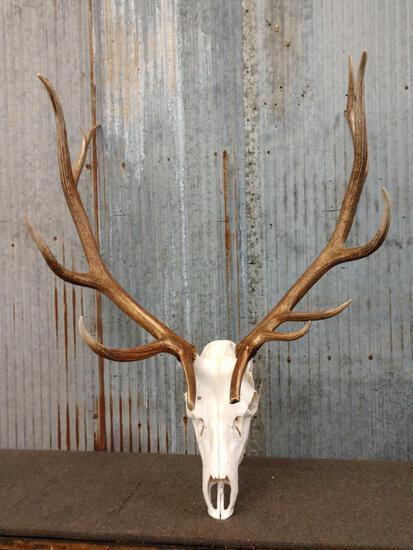 6x7 Elk Antlers On Skull