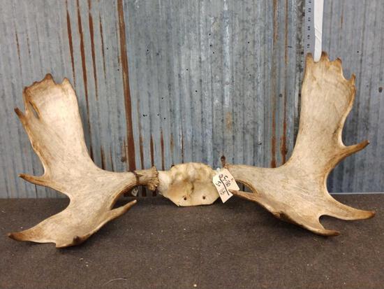 """35"""" Moose Antlers On Skull Plate"""