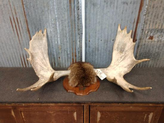 """43"""" Moose Shed Antlers On Plaque"""