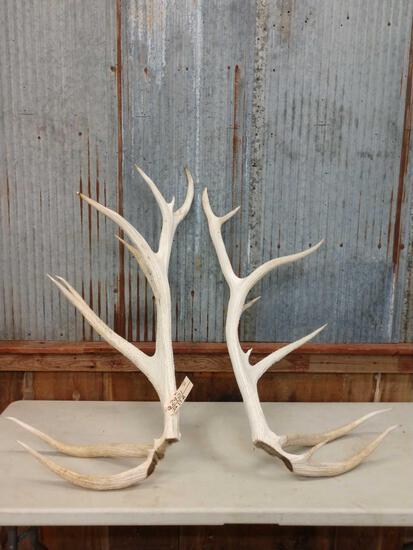 17.8 lbs Elk Antler Cuts