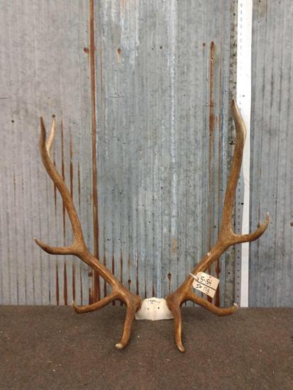 5x5 Elk Antlers On Skull Plate