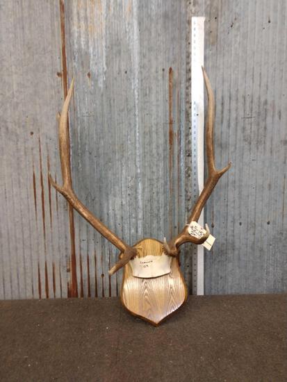4x5 Elk Antlers On Plaque