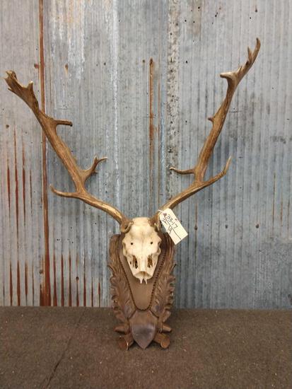 BIG Fallow Deer Antlers On Plaque