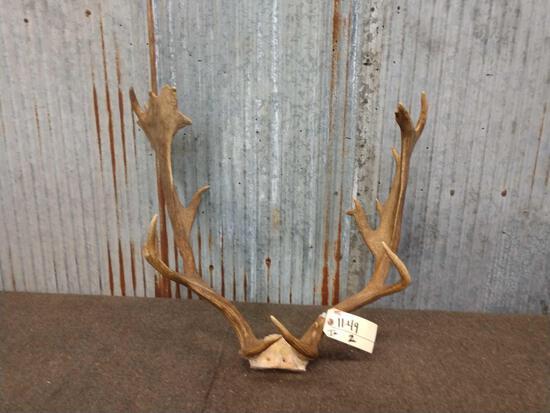 Nice Fallow Deer Antlers In Skull Plate