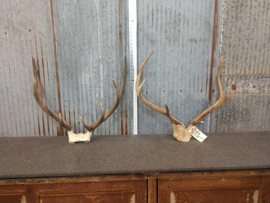 2 Smaller Sets Of Elk Antlers On Skull Plate