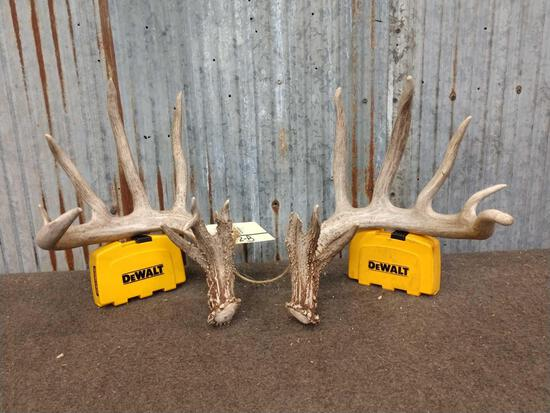 Big Heavy mass 6x6 Whitetail Shed Antlers