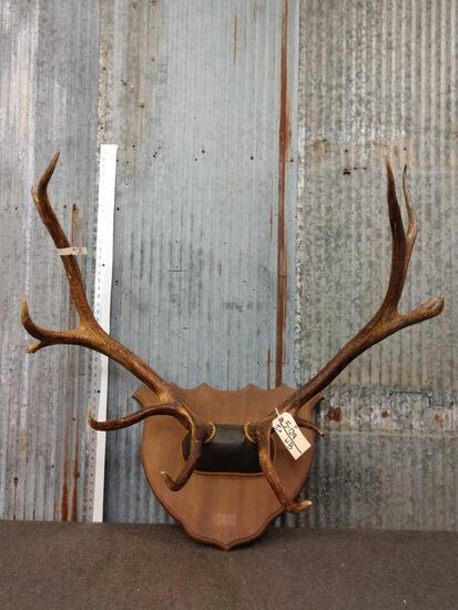 6x6 Elk Antlers On Skull Plate
