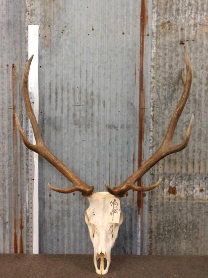 5x5 Elk Antlers On Skull