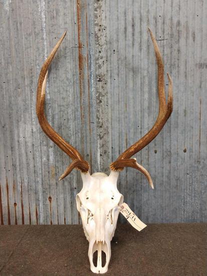3x3 Elk Antlers On Skull