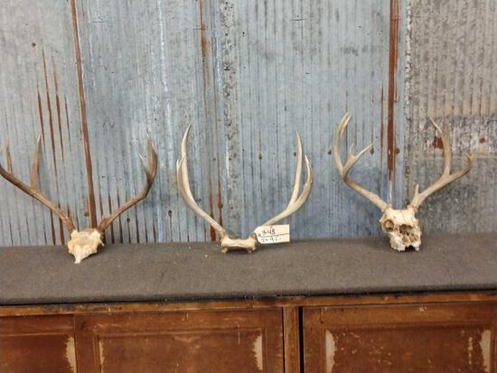3 Sets Of Mule Deer Antlers On Skull Plate
