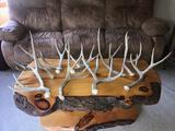 Group Of 9 Mule Deer Shed Antlers