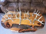 Group Of 9 Whitetail Shed Antlers