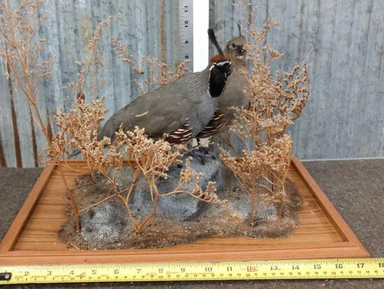 Gamble's Quail Hen & Rooster Taxidermy Mount