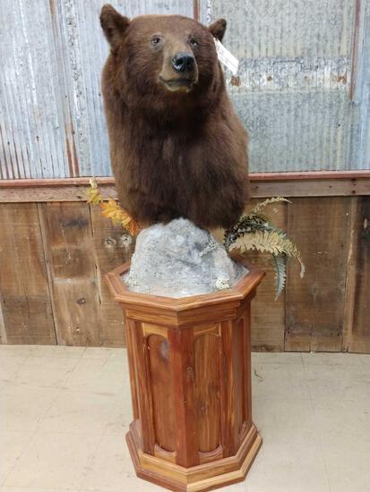 NICE Cinnamon phase black bear pedestal taxidermy mount