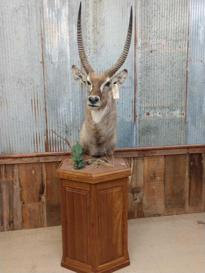 African Waterbuck Pedestal Taxidermy Mount