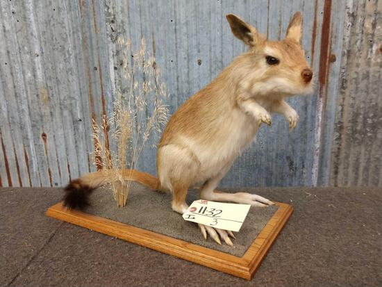 African Springhare Full Body Taxidermy Mount