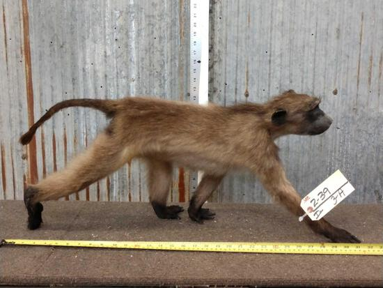Baby Chacma Baboon Full Body Taxidermy Mount