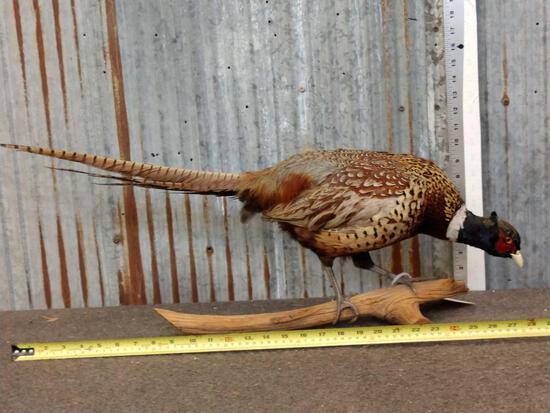 Pheasant Full Body Taxidermy Mount