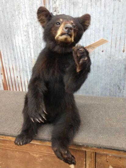 Black Bear Cub Full Body Taxidermy Mount