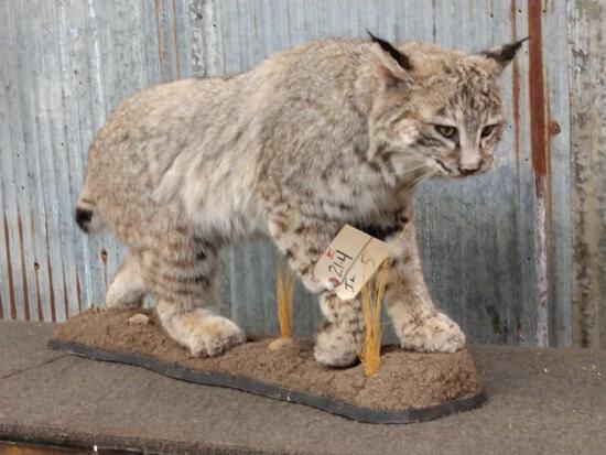Big Western Bobcat Full Body Taxidermy Mount