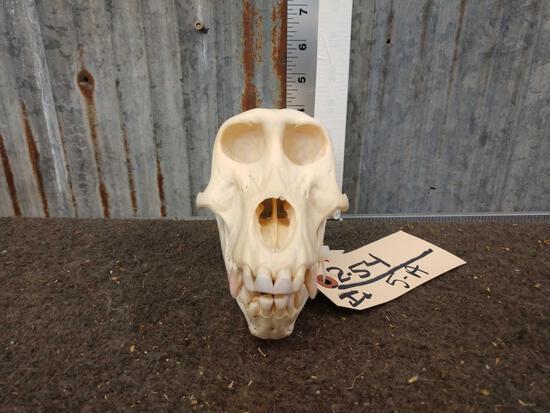 Baboon Skull Taxidermy