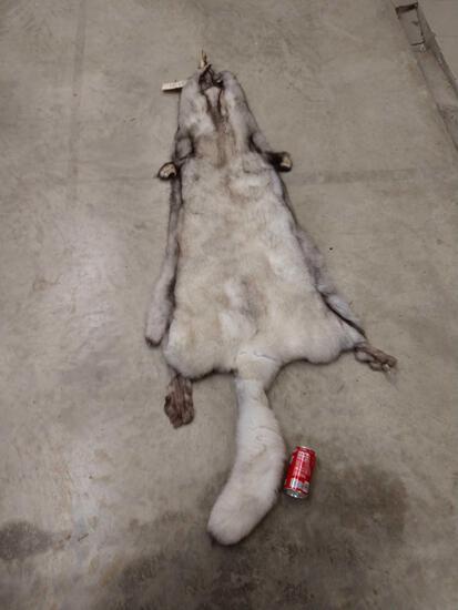 Giant Blue Ranch Fox Fur Taxidermy