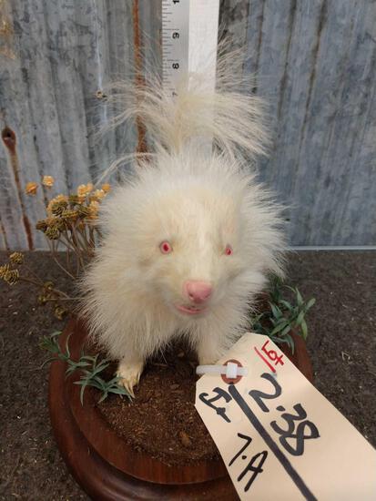 Baby Albino Skunk Full Body Taxidermy