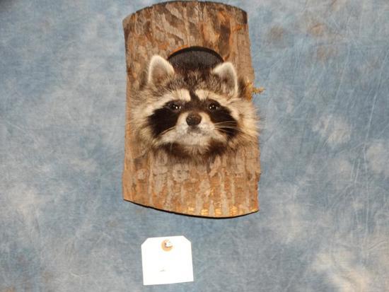 Raccoon Head in The Log