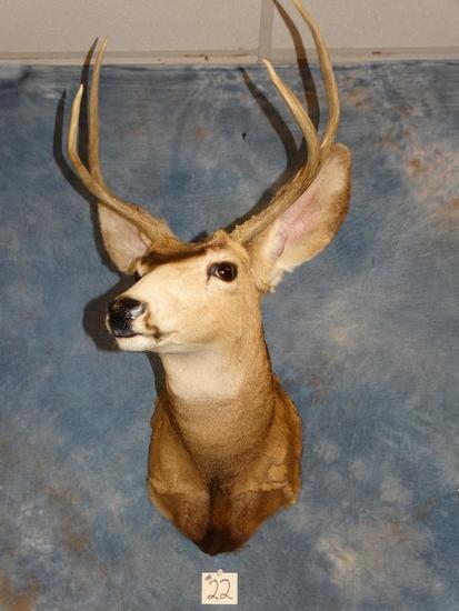 Forkhorn Mule Deer shoulder mount