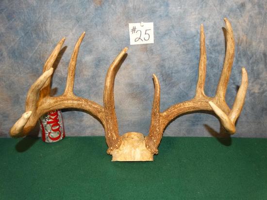 152 1/8 gross 10pt. Iowa Whitetail Deer Antlers