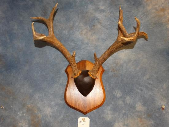 Non-typical Sitka Blacktail Deer Antlers on plaque