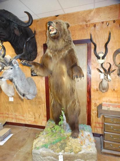 Record Class Interior Grizzly Bear full body mount