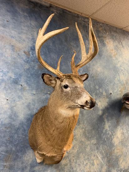 151 1/8 inch gross Wisconsin Whitetail Deer shoulder mount