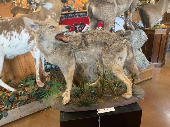 Excellent Texas Coyote full body mount