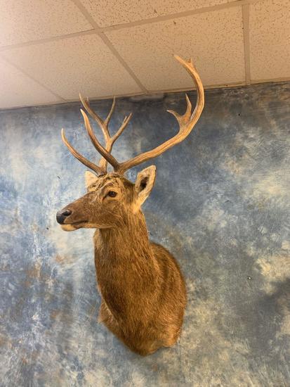 Barasingha Deer shoulder mount (Texas Residents Only!!)
