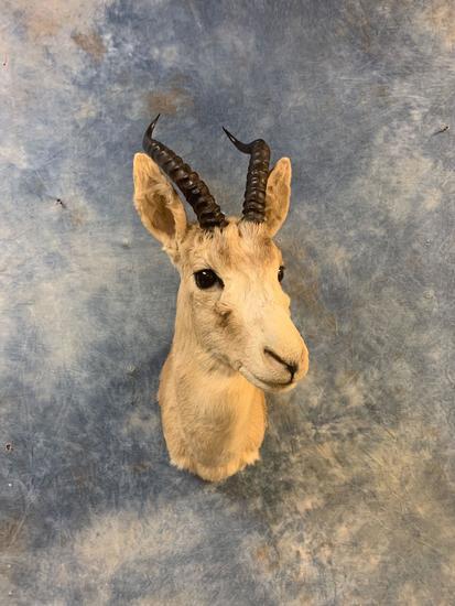 Mongolian Whitetail Gazelle shoulder mount