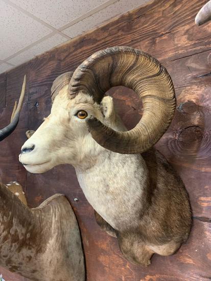 Beautiful Stone Sheep shoulder mount