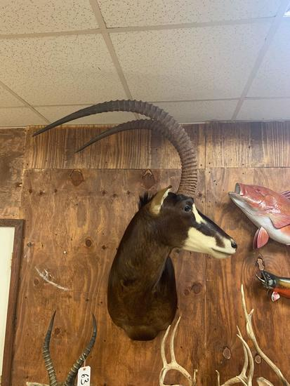"""44 1/4"""" Record Book African Sable Antelope shoulder mount"""
