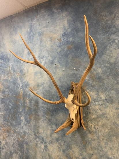 Large Trophy Axis Deer Skull on Driftwood