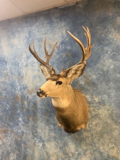 15 point Rocky Mountain Mule Deer shoulder mount